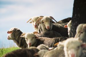 A group of escorial sheep